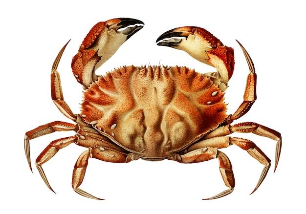 Dungeness krabbe