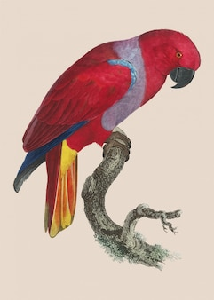 Eclectus papagei