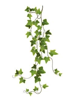 Efeu-pflanzenzweigkarikatur. kletternde weinrebe.