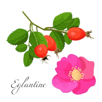 Eglantineblüte und -niederlassung mit den roten früchten eingestellt. natürliche pflanze mit rosa blüten und gesunden beeren.