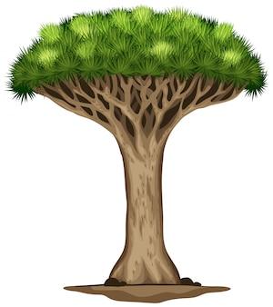 Ein drachenblutbaum