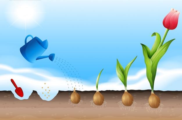 Ein prozess der tulpe zu pflanzen