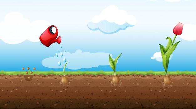 Ein satz tulip growth stage