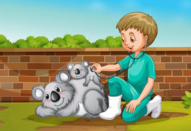 Ein tierarzt, der um coala sich kümmert
