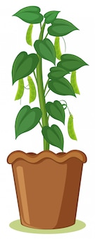 Eine bohnenpflanze im topf
