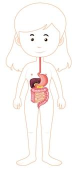 Eine frau verdauungssystem anatomie