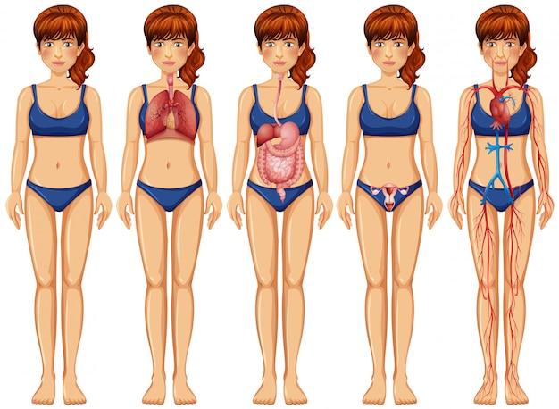 Eine frauenkörper und -anatomie