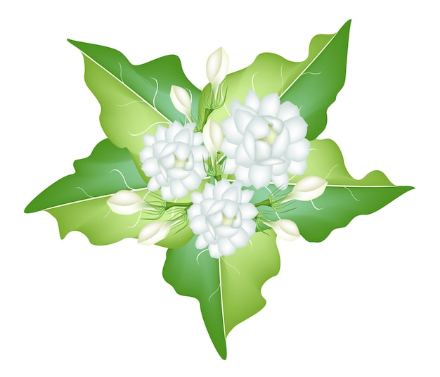 Eine illustration von jasmine flowers auf weißem hintergrund