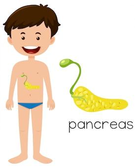 Eine menschliche pankreas-anatomie