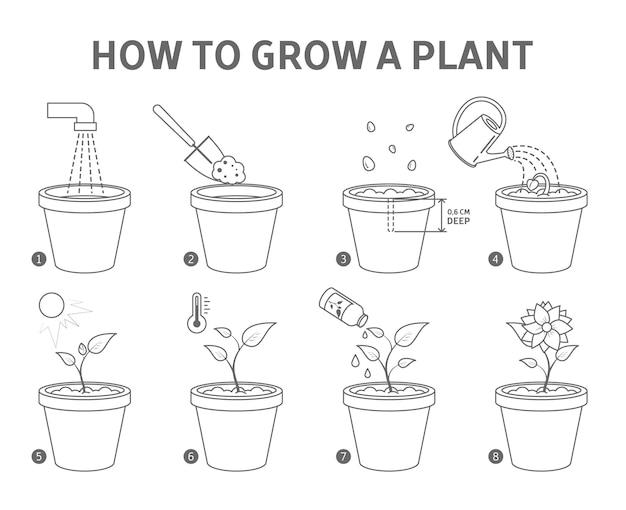 Eine pflanze in der topfführung anbauen. schritt für schritt anleitung zum züchten einer blume. keimwachstumsprozess. gartenempfehlung. vom samen zur blume. linienillustration
