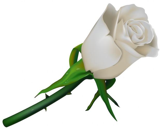 Einzelne weiße rose mit den dornen