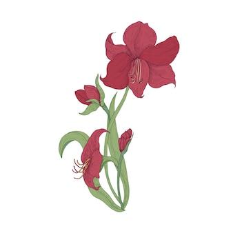 Elegante blühende rote amaryllis blüht, knospen und blätter hand gezeichnet auf weißem hintergrund.