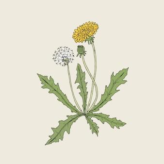 Elegante detaillierte zeichnung der löwenzahnpflanze mit gelber blume, samenkopf und knospe, die auf stiel und blättern wächst. schöne wildblumenhand gezeichnet im weinlesestil. botanische illustration.