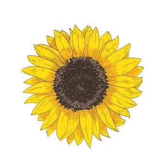 Elegante natürliche realistische zeichnung des sonnenblumenkopfes. detail oder teil der herrlichen blume oder der kultivierten ernte
