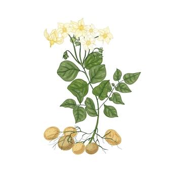 Elegante natürliche zeichnung der kartoffelpflanze mit blumen, wurzeln und knollen