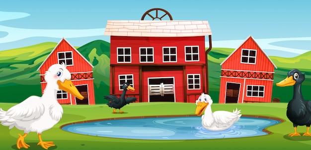 Ente auf der farm