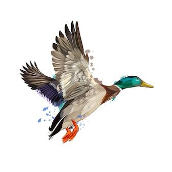 Ente aus einem spritzer aquarell, farbige zeichnung, realistisch. illustration