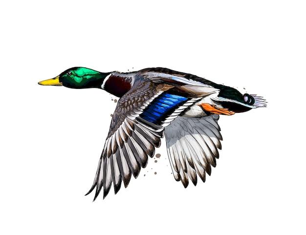 Ente aus einem spritzer aquarell, farbige zeichnung, realistisch. vektorillustration von farben