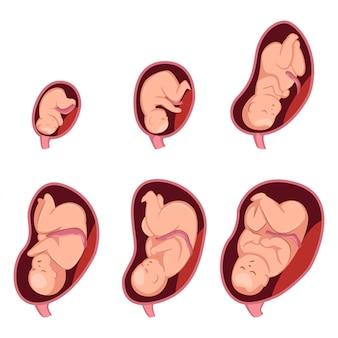 Entwicklungsstadien der embryonen bei schwangeren frauen