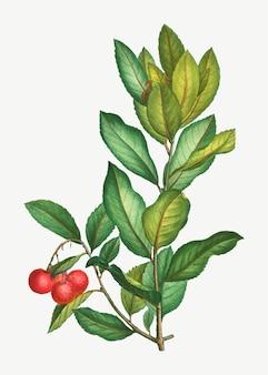 Erdbeerbaumzweig