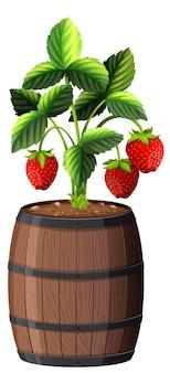 Erdbeerpflanze im hölzernen topf lokalisiert auf weißem hintergrund