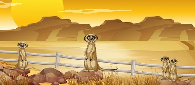 Erdmännchen, die in der wüste stehen
