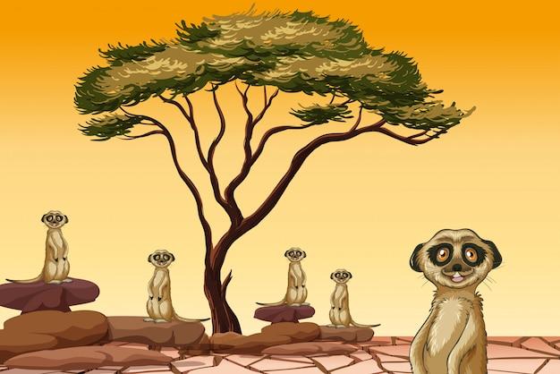 Erdmännchen leben in trockenem land