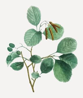 Erle pflanze