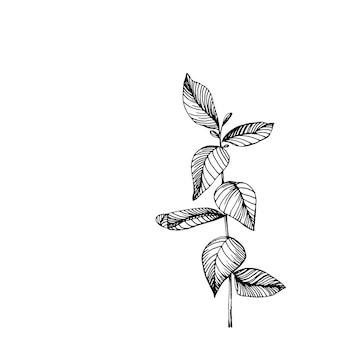 Eukalyptusblätter. botanische blumenblume. isoliertes abbildungselement. handzeichnung wildblumen