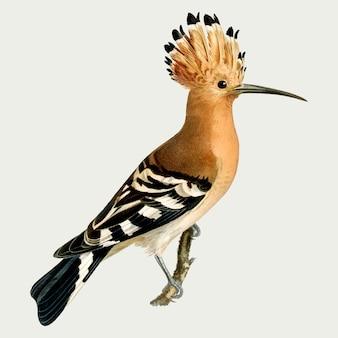 Eurasische wiedehopf-vogel-vektor-hand gezeichnet