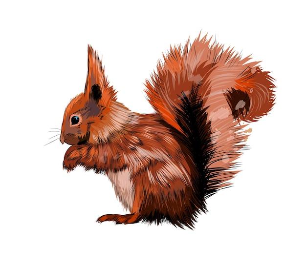Eurasisches rotes eichhörnchen des aquarells auf weiß