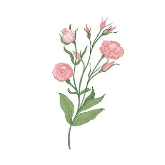Eustoma oder lisianthus rosa blühende blumenhand gezeichnet auf weißem hintergrund. natürliche zeichnung der in der floristik verwendeten blühenden gartenpflanze.