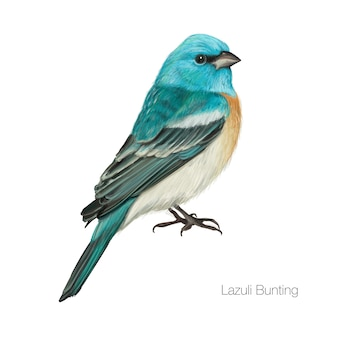 Exotischer blauer kardinalvogel
