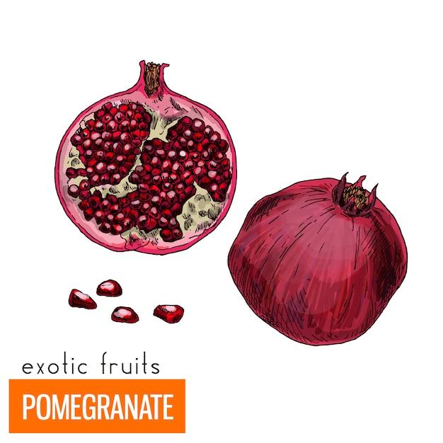 Farbe-vektor-illustration. granatapfel