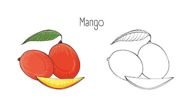 Farbige und monochrome botanische zeichnungen von ganzen mangos isoliert