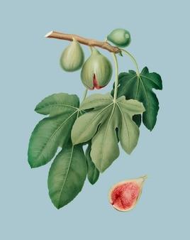 Feige von pomona italiana abbildung