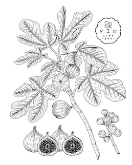 Feigenfrucht hand gezeichnete botanische illustrationen.