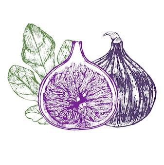 Feigenfrucht mit blatt hand zeichnen skizze.
