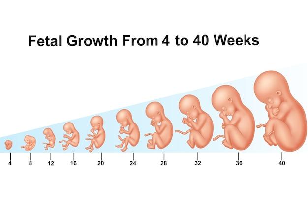 Fetales wachstum von 4 bis 40 wochen