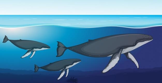 Finnwal tief unter wasser