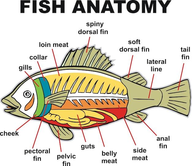 Fisch anatomie vektor-illustration