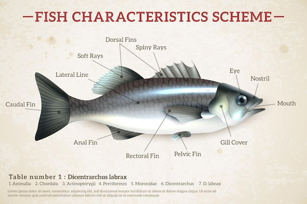 Fisch schema infografiken mit glänzendem wolfsbarsch und inschriften auf altem papier