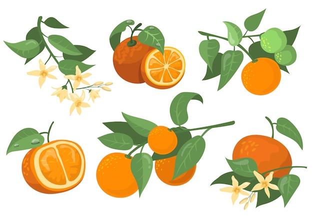 Flache orangefarbene zweige und blumen flaches gegenstandsset. karikaturzeichnung orange, mandarine und mandarine isolierte vektorillustrationssammlung. zitrusfrucht- und baumkonzept