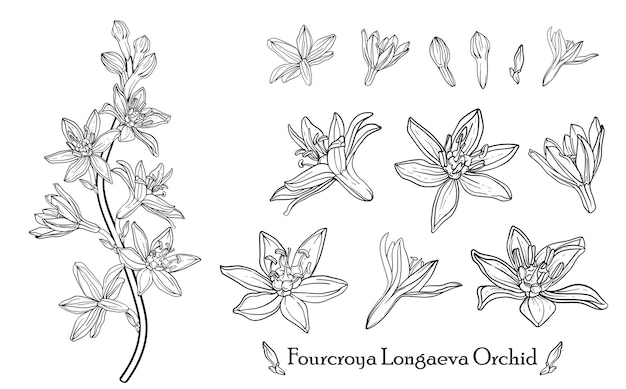 Fourcroya longaeva orchidee