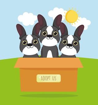 Französische bulldogge auf box