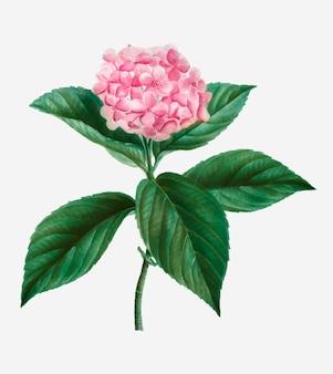 Französische hortensie