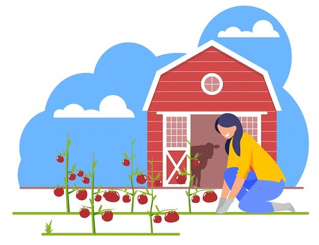 Frau, die an garten-bett mit reifen tomaten arbeitet