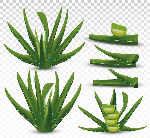 Frische aloe vera auf transparentem raum. sammlung grüne aloe vera. pflanzenheilkunde. aloe vera ein kaktus hautnah. vektorillustration