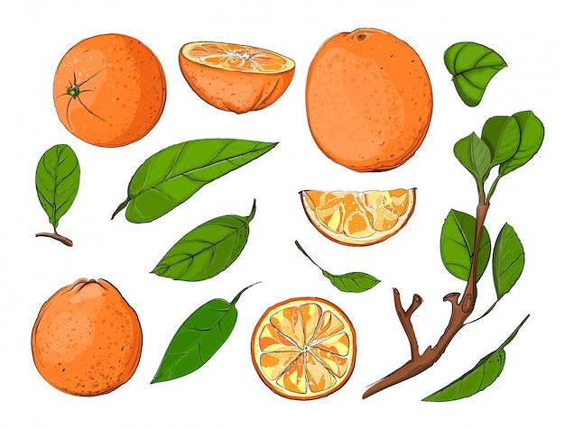 Frische orangen und blätter set, hand gezeichnete vektorfrucht und blätter illustration.