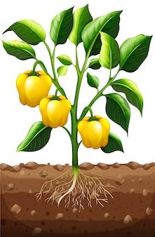 Frischer paprika an der pflanze